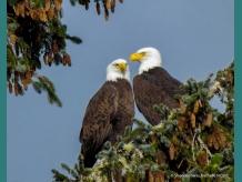 Loving couple of Bald Eagles